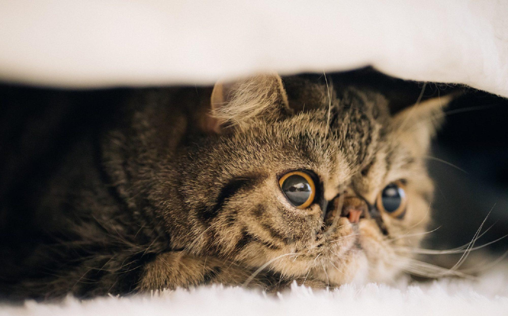 ペルシャ・エキゾチックショートヘア・ヒマラヤン・子猫ブリーダー販売はフルーフィーコット