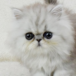 ペルシャ子猫チンチラシルバー