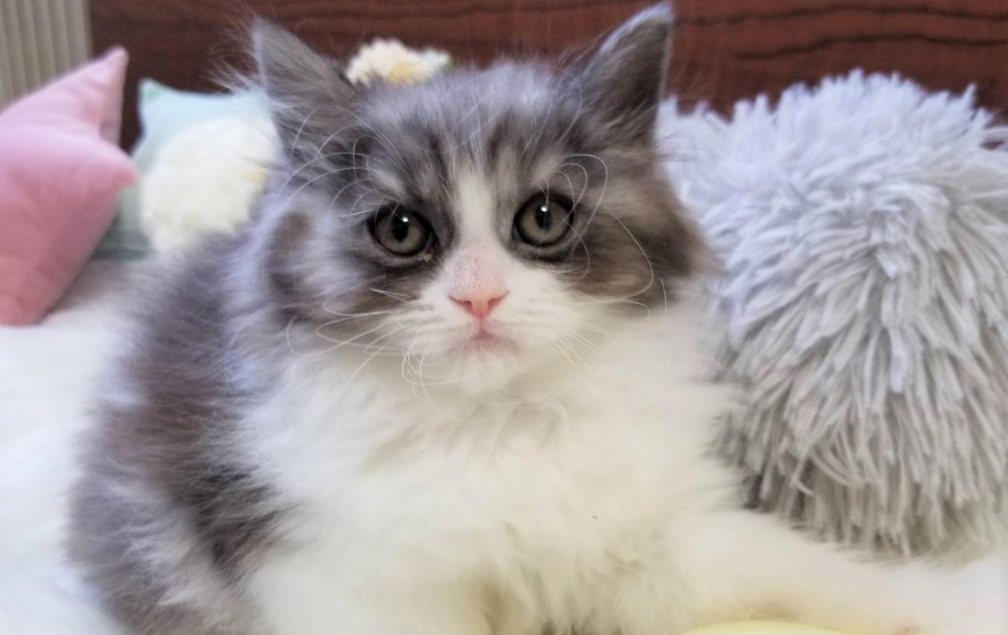 サイベリアン・ラグドール・マンチカン・ミヌエット子猫ブリーダー販売はフルーフィーコット
