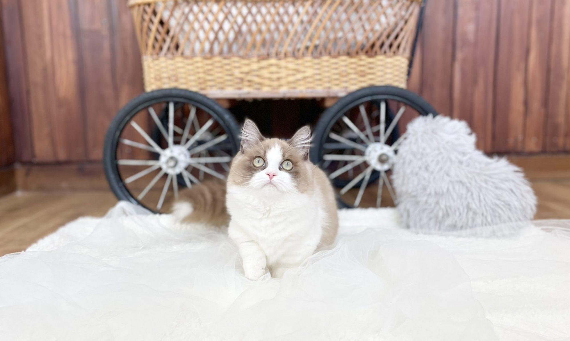 サイベリアン・ラグドール大型猫(ねこ)ブリーダーのフルーフィーコットです